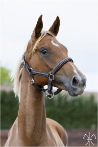 Photo cheval a vendre SPRITE DE LA GESSE